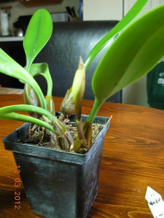 Bulbophyllum Hybrid in bloom-bulbophyllum-001-jpg