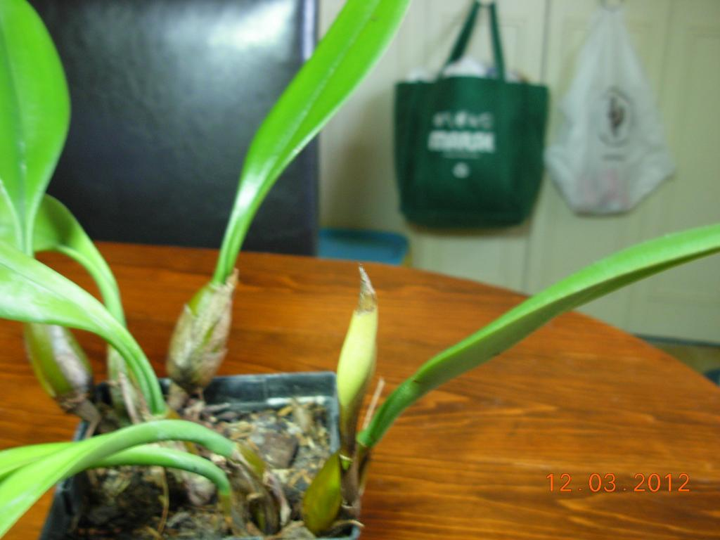 Bulbophyllum Hybrid in bloom-bulbophyllum-003-jpg
