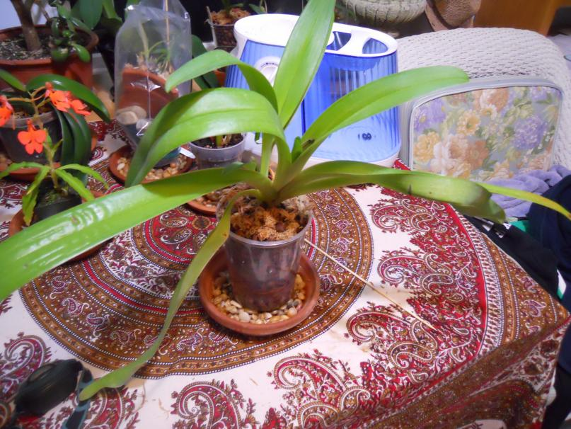 Paph lowii for Semi/Hydro-lowii-004-jpg