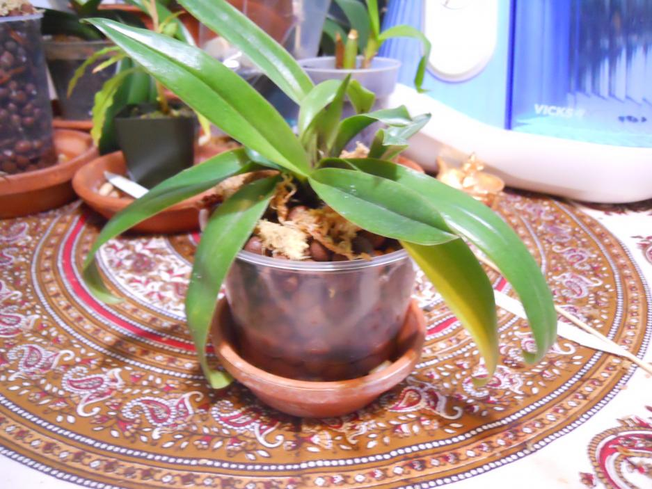 Paph lowii for Semi/Hydro-lowii-008-jpg