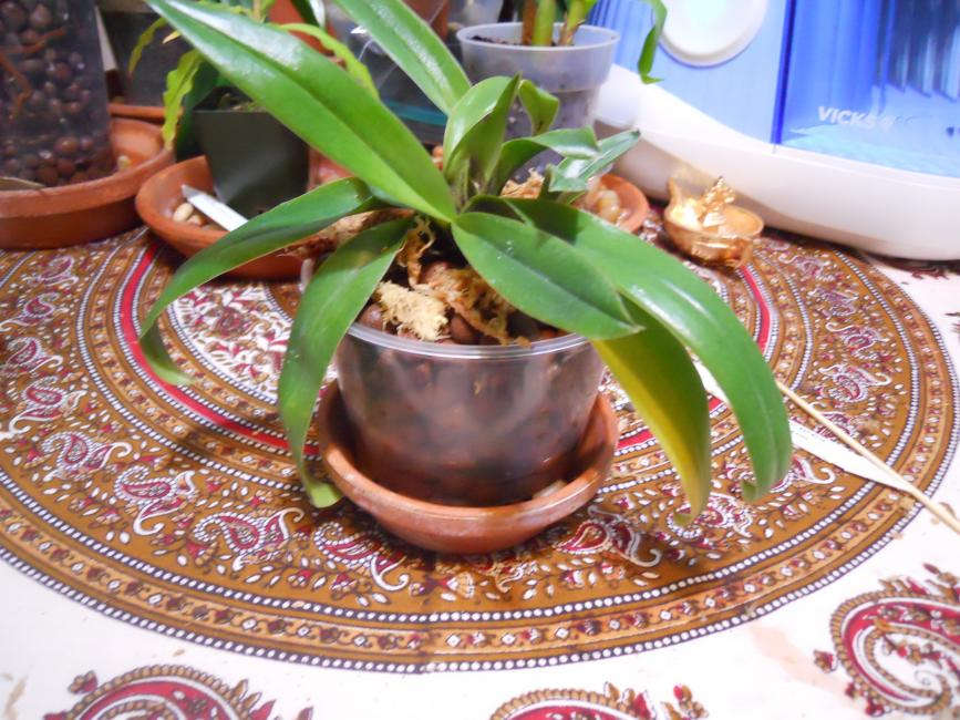 Paph lowii for Semi/Hydro-lowii-009-jpg