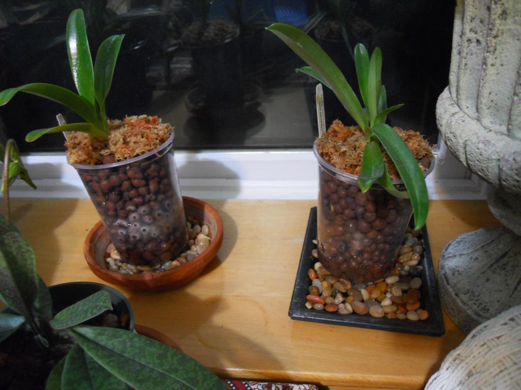 Paph lowii for Semi/Hydro-lowii-010-jpg