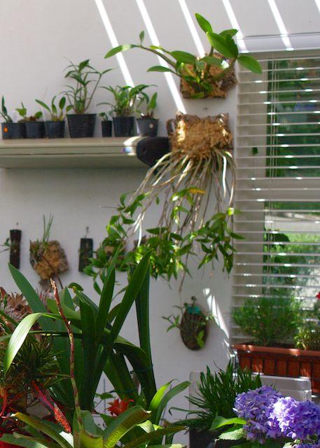 Dendrobium gracilicaule upside down?-imgp0499-version-2-jpg