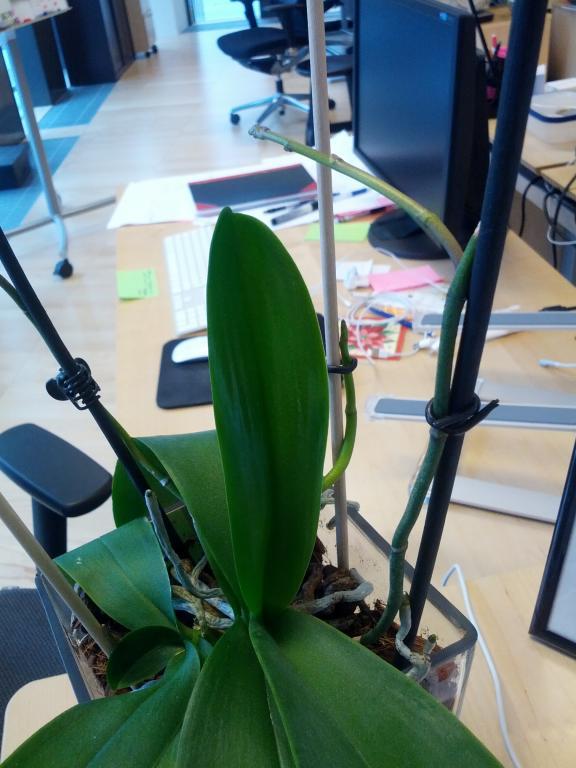Mushy leaves on my Phalaenopsis?-2012-12-04-11-25-51-jpg