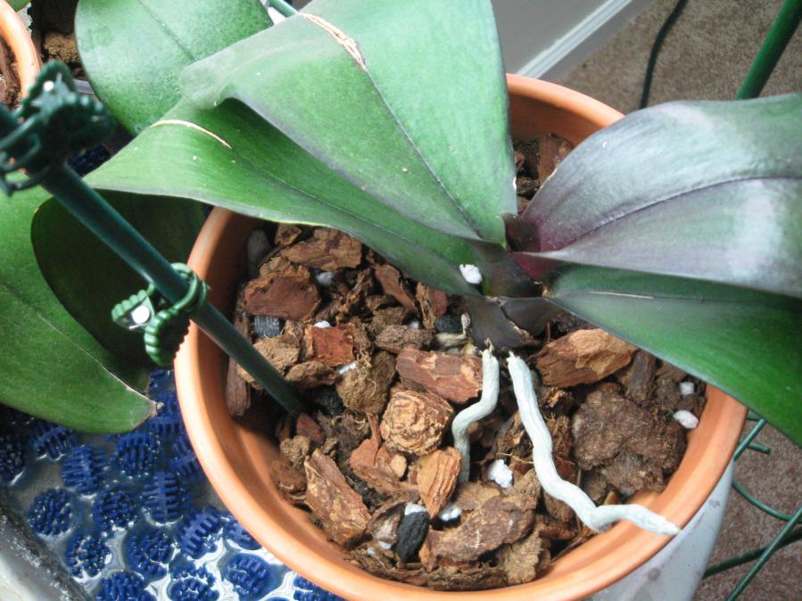don't understand good roots bad plant,HELP-flowers-003-jpg