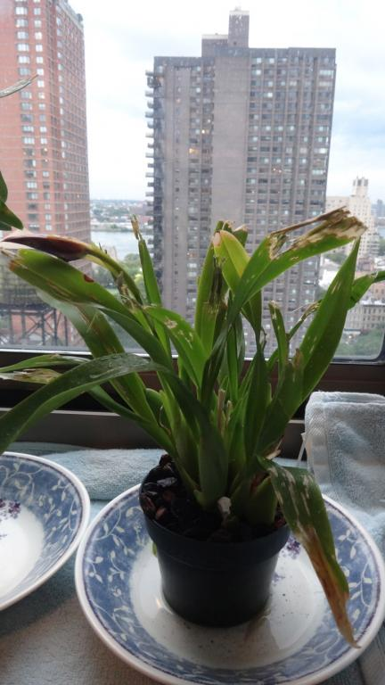 If your cat eats your orchids ---mangled-miltonia-jpg