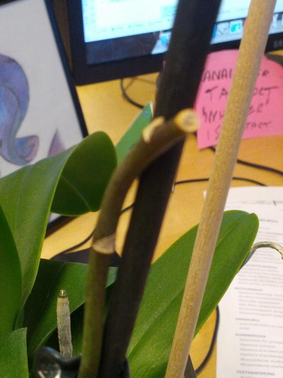 Mushy leaves on my Phalaenopsis?-2012-12-05-13-54-02-jpg