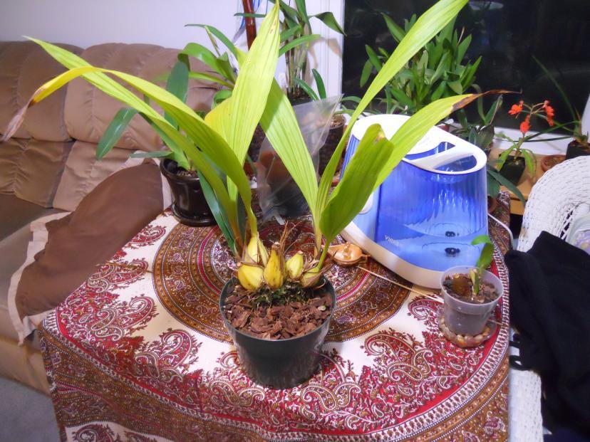 Getting Neomoorea to flower-neomoorea-001-jpg
