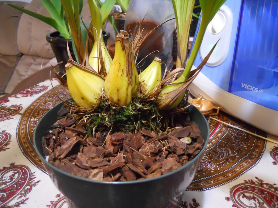 Getting Neomoorea to flower-neomoorea-002-jpg