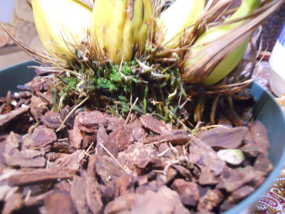 Getting Neomoorea to flower-neomoorea-003-jpg