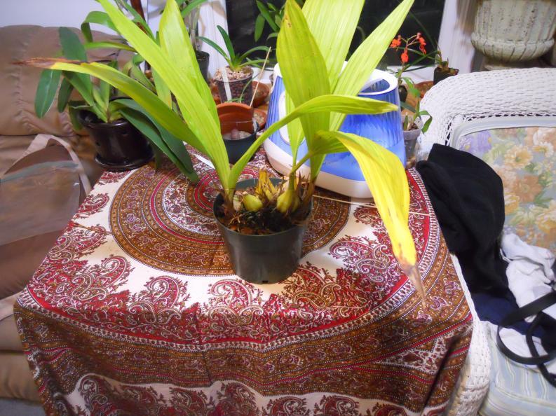Getting Neomoorea to flower-neomoorea-005-jpg