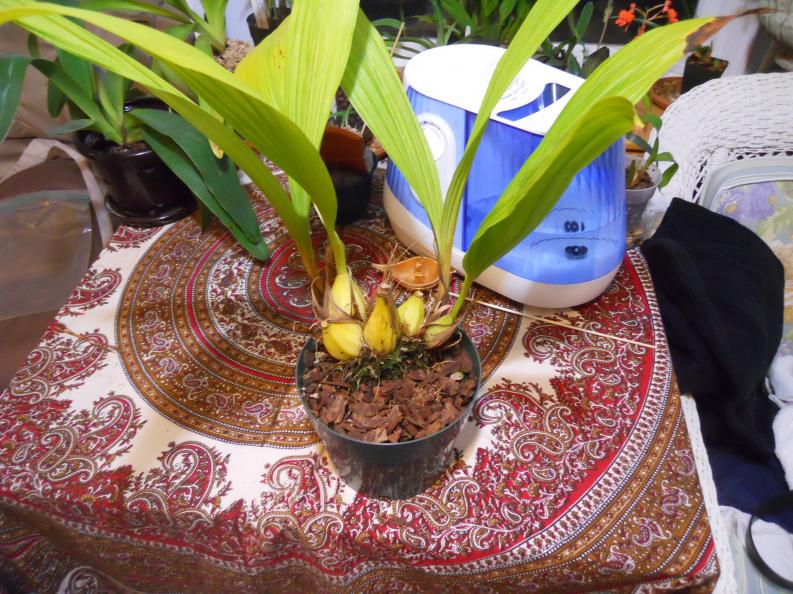 Getting Neomoorea to flower-neomoorea-007-jpg