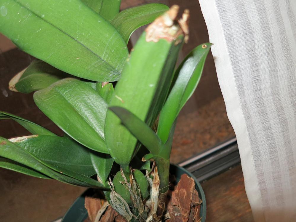 Burana beauty Sick;wrinkly leaves,half-brown pseudobulbs-004_newgrowth-jpg