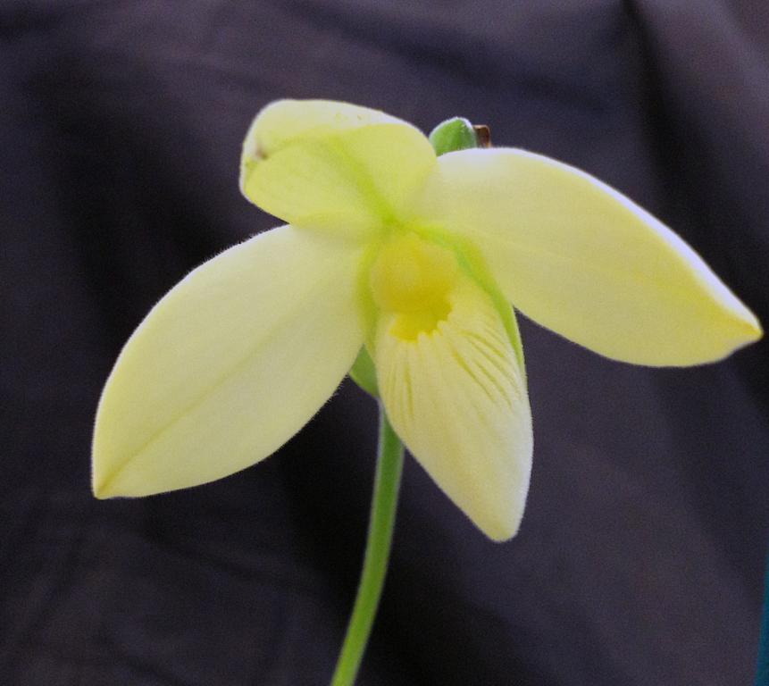 Oakhill gardens-phragmipedium-besseae-flavum-lemon-grass-lemon-souffle-jpg