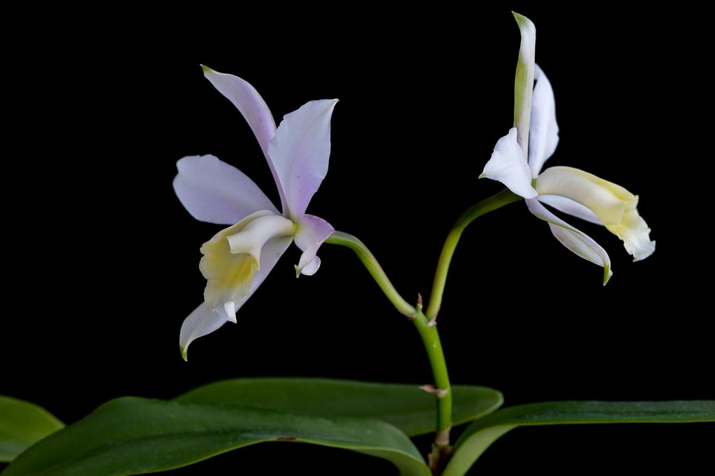 Christmas Blooms-_dsc0599_2012-12-28_398-ctt-loddiaca-jpg