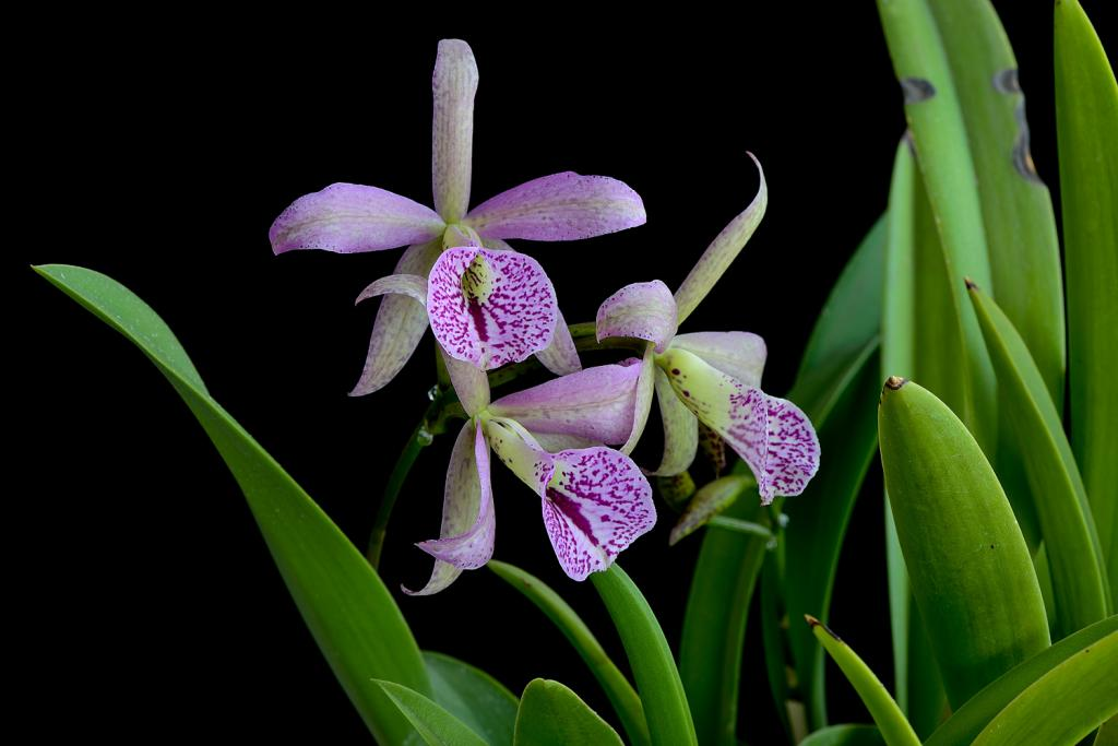 Christmas Blooms-_dsc0600_2012-12-28_399-bc-maikai-spotted-star-jpg