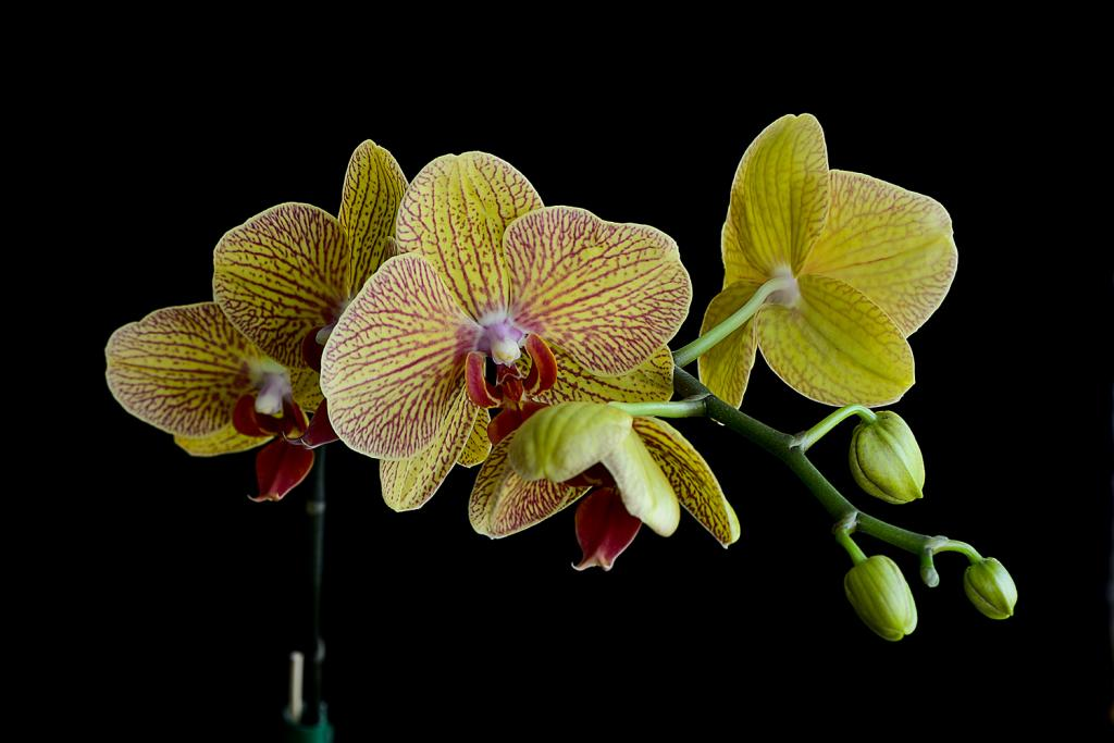 Christmas Blooms-_dsc0607_2012-12-28_406-phal-sogo-kalaidoscope-jpg
