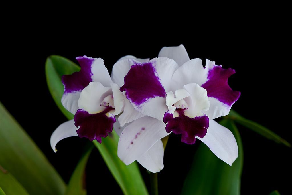 Christmas Blooms-_dsc0615_2012-12-28_414-purple-cascade-fragrant-beauty-jpg