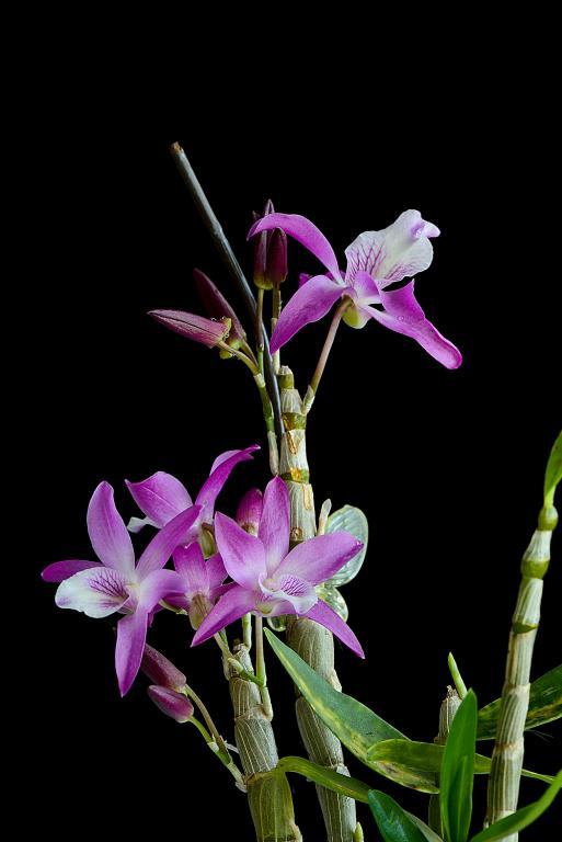 Christmas Blooms-_dsc0616_2012-12-28_415-den-rainbow-dance-jpg