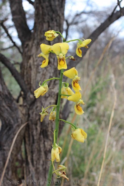 Eulophia speciosa-eulophia-speciosa-028-jpg