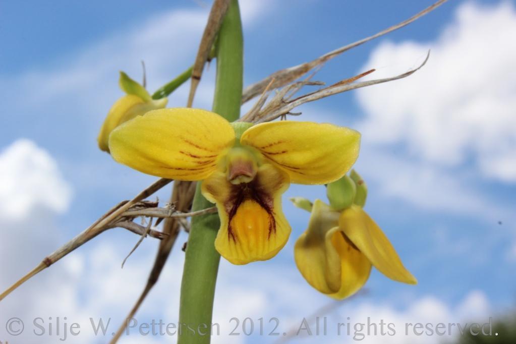 Eulophia speciosa-eulophia-speciosa-029-jpg