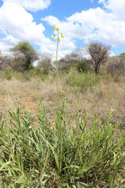 Eulophia speciosa-eulophia-speciosa-027-jpg