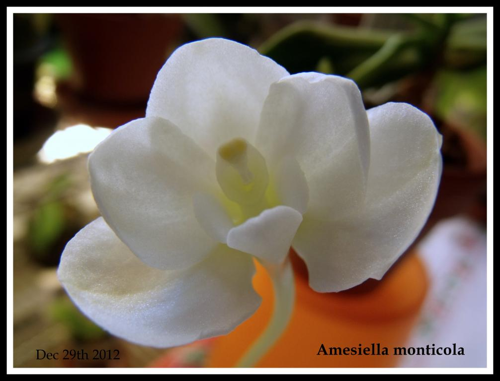 Amesiella monticola-amesiella-jpg