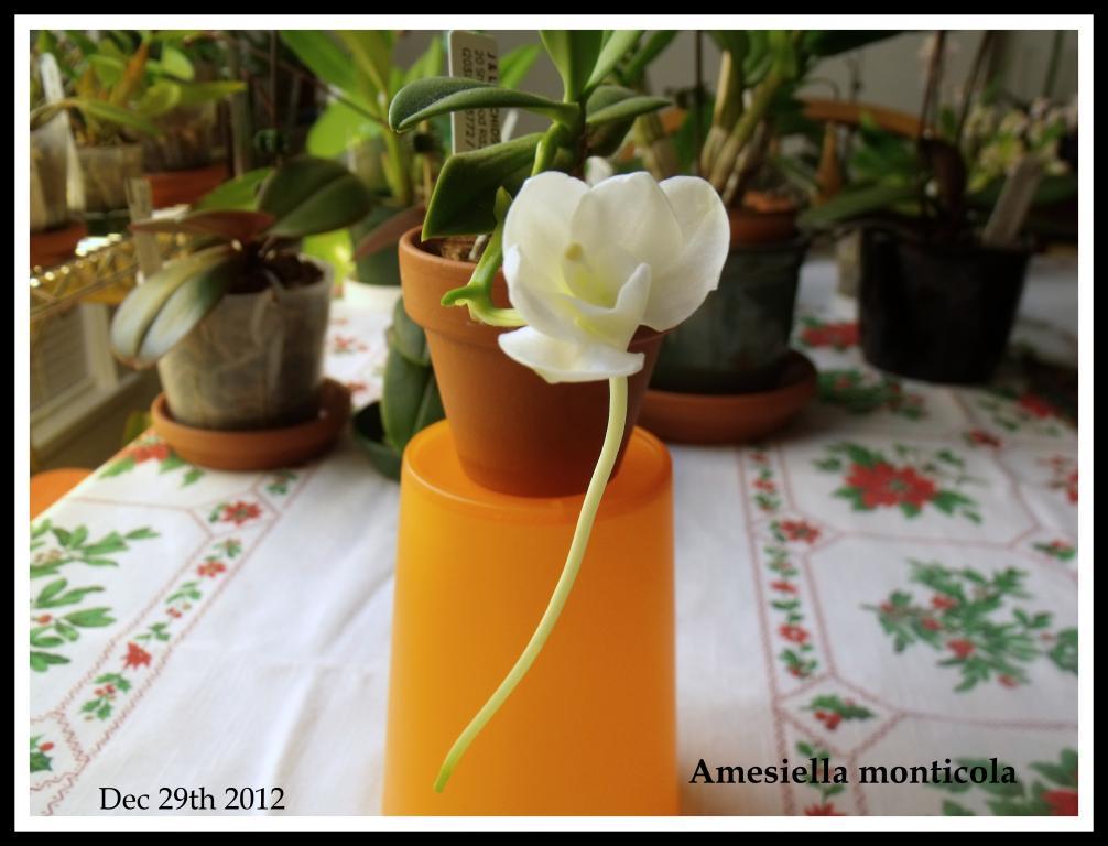 Amesiella monticola-amesiella-monticola-jpg