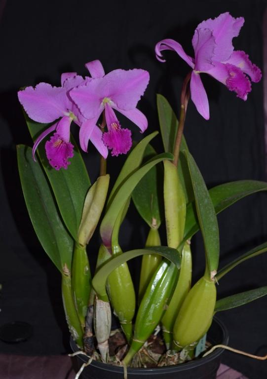 Cattleya trianae fma rubra 'sangretoro'-trianae-sangretoro-1-jpg