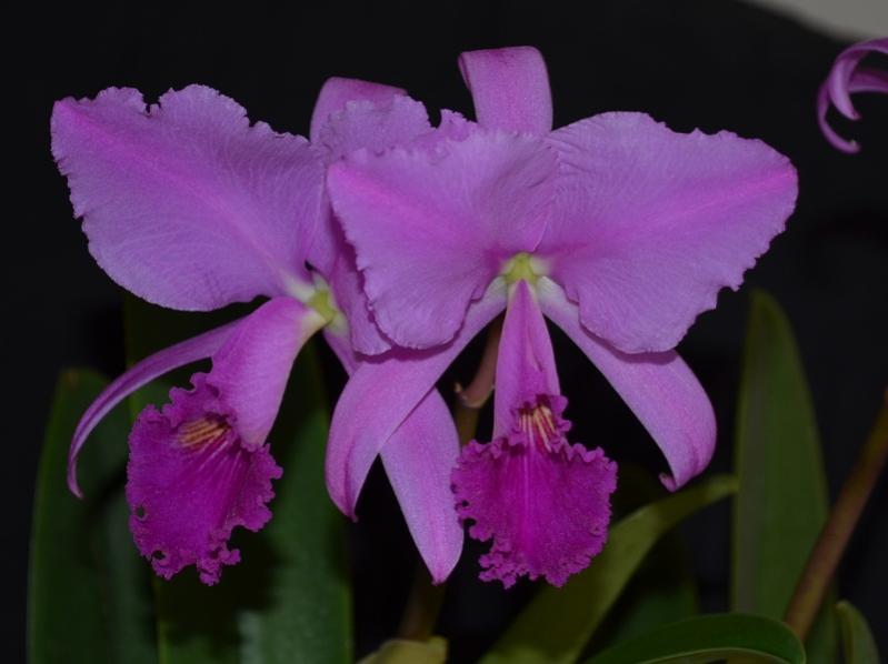 Cattleya trianae fma rubra 'sangretoro'-trianae-sangretoro-2-jpg