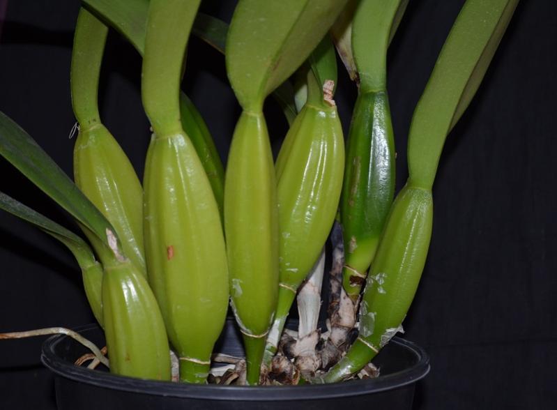 Cattleya trianae fma rubra 'sangretoro'-trianae-sangretoro-bulbs-jpg