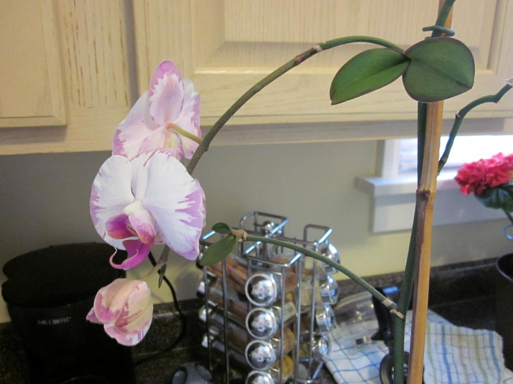 Phal NoID with Keikis and Blooms-002-jpg