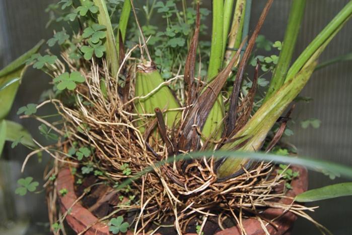Getting Neomoorea to flower-orchids-001-jpg