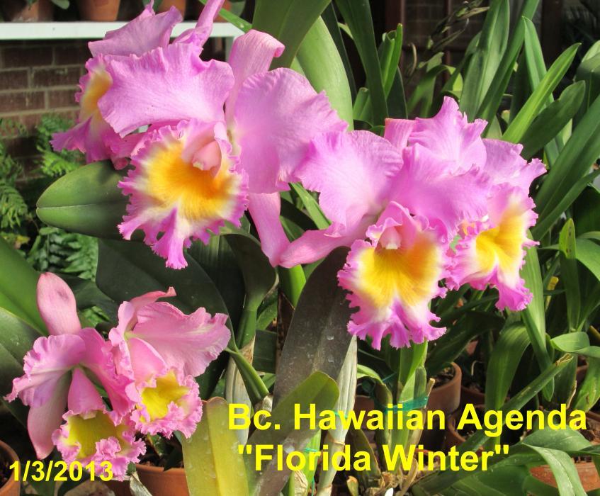 "Specimen Bc. Hawaiian Agenda ""Florida Winter""-img_0021_1_1_1_1-jpg"