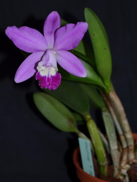 C. Thumballina (sincorana x loddigesii)-thumballina-1-jpg