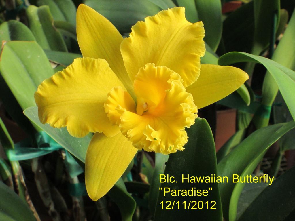 Nice Golden Yellow Cattleyas-img_0006_1_1-jpg