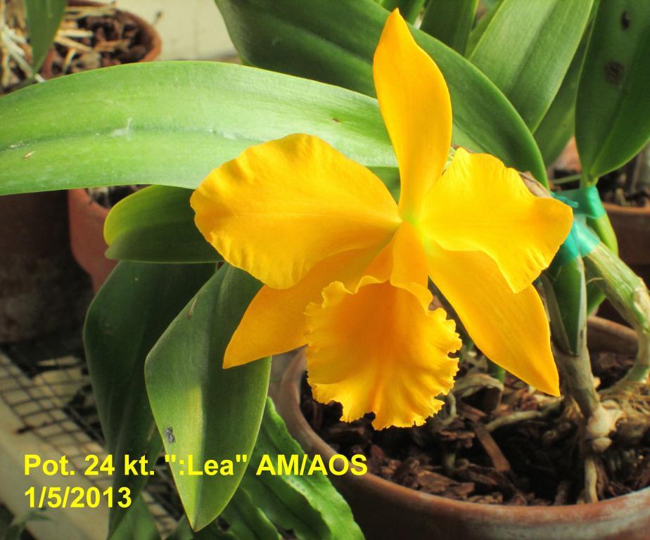 Nice Golden Yellow Cattleyas-img_0022_1_1_1-jpg
