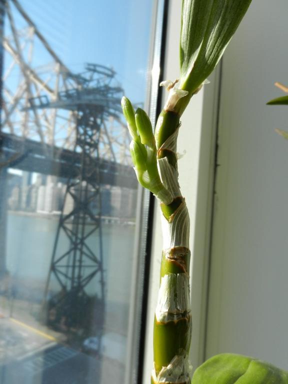 Dendrobium Oriental Smile 'Fantasy' AD/AOS in bud-dscn4651-jpg
