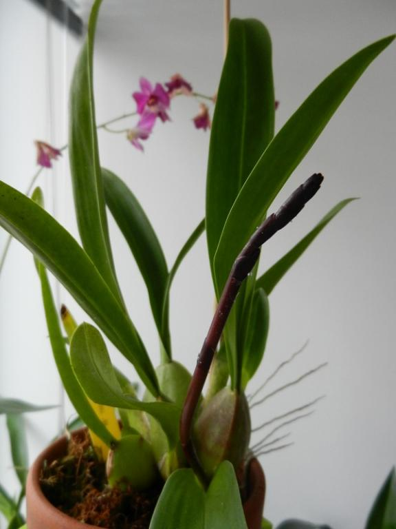 Odontocidium Sunlight NN in spike-dscn4620-jpg