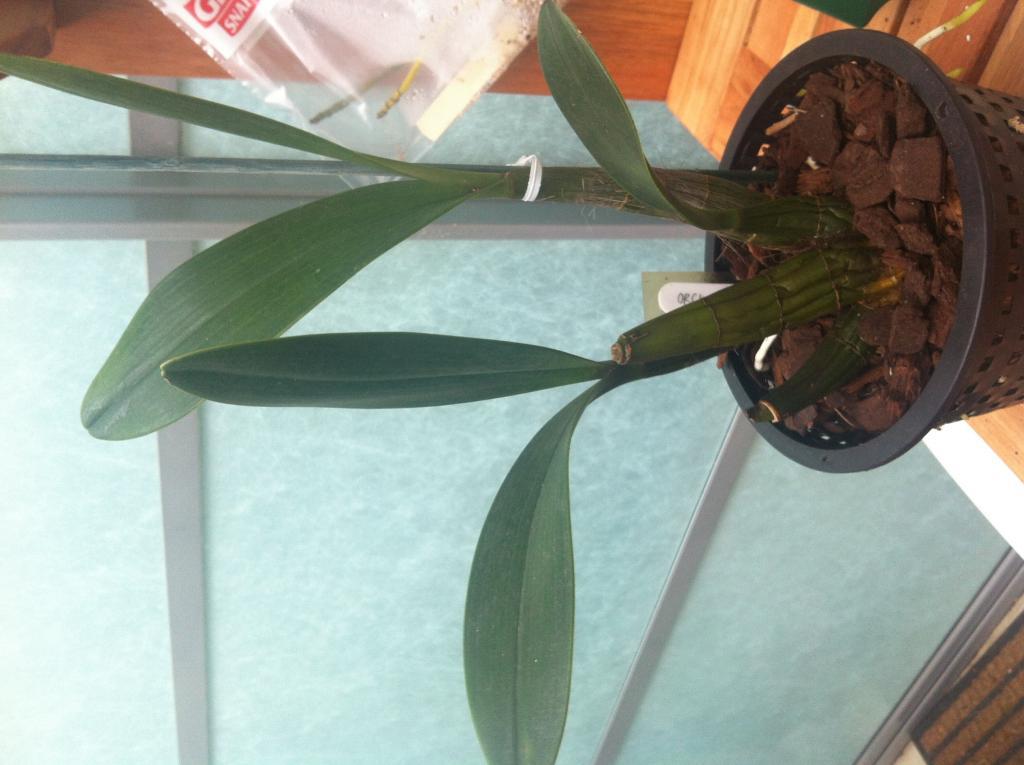 Dendrobium Speciosum backbulbs-image-jpg
