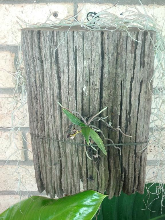 Show me how you grow your Sarcochilus!-img_20121031_085609-jpg