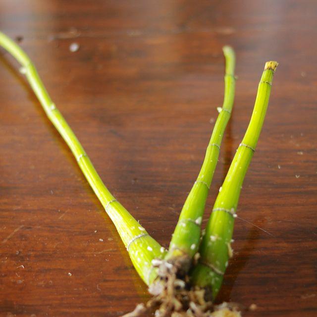 Dendrobium Speciosum backbulbs-imgp0930-jpg