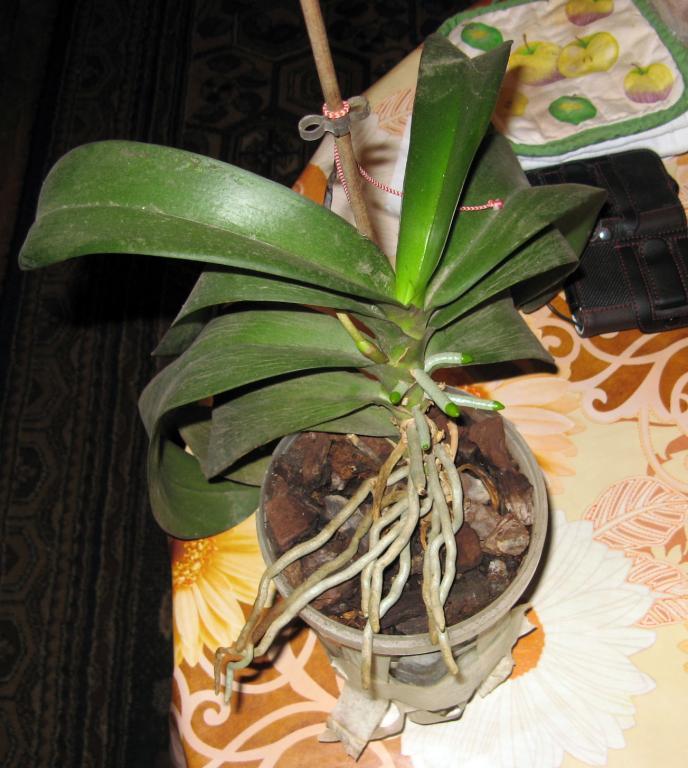 Phal stem turns black! Help!-01-jpg