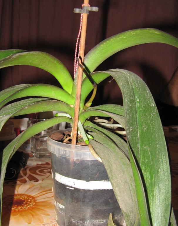 Phal stem turns black! Help!-02-jpg