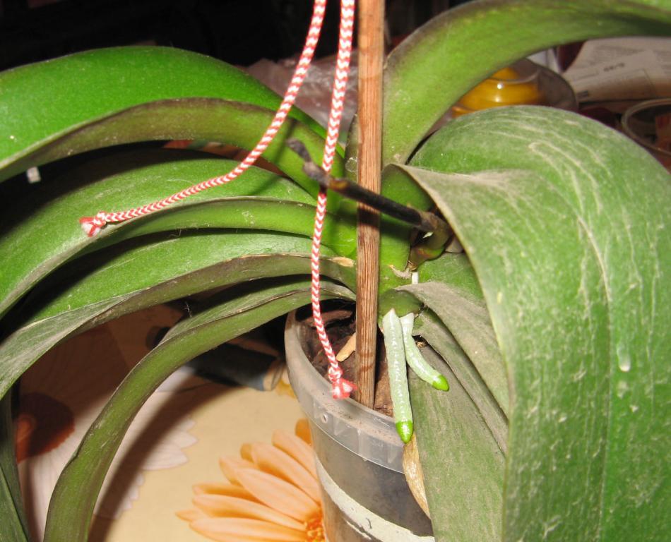 Phal stem turns black! Help!-03-jpg