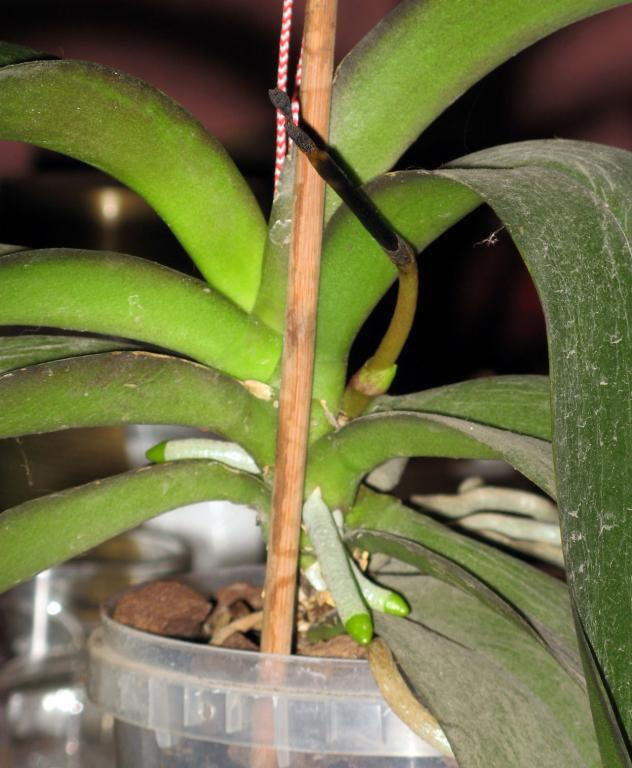 Phal stem turns black! Help!-04-jpg