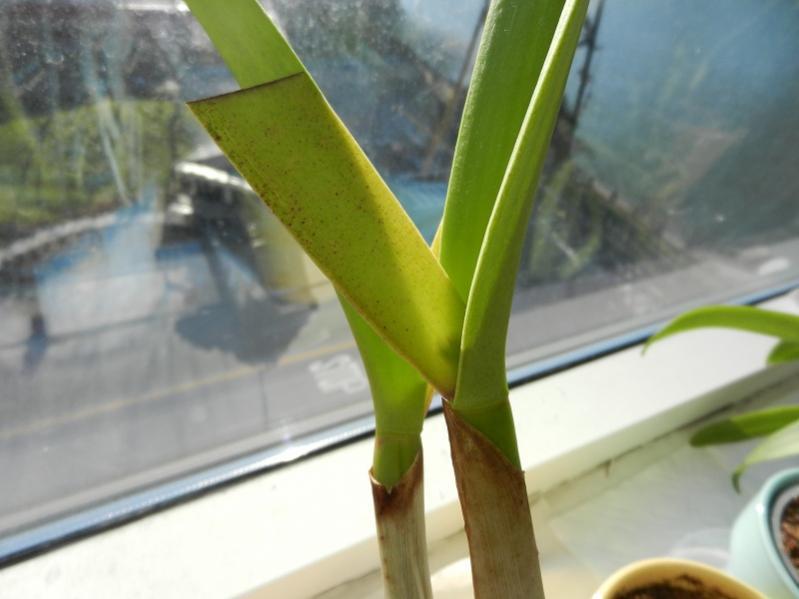 Buds Growing inside sheath finally!!!-dscn4778-jpg
