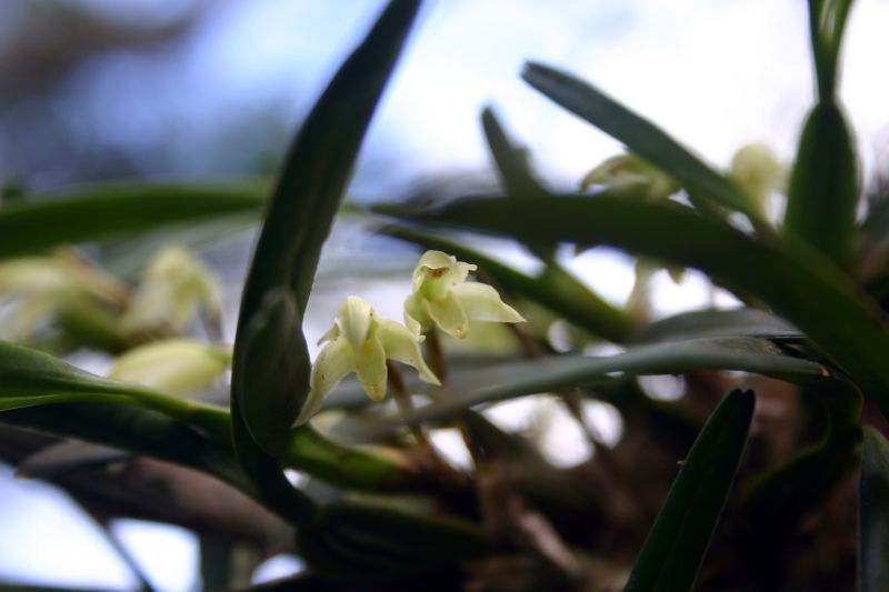 Blooms in El Portillo, Jinotega, Nicaragua-maxillaria-fredrichstalhi-jpg