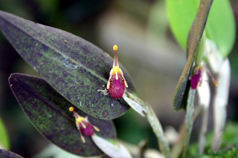 Blooms in El Portillo, Jinotega, Nicaragua-restripa-mucifera-jpg