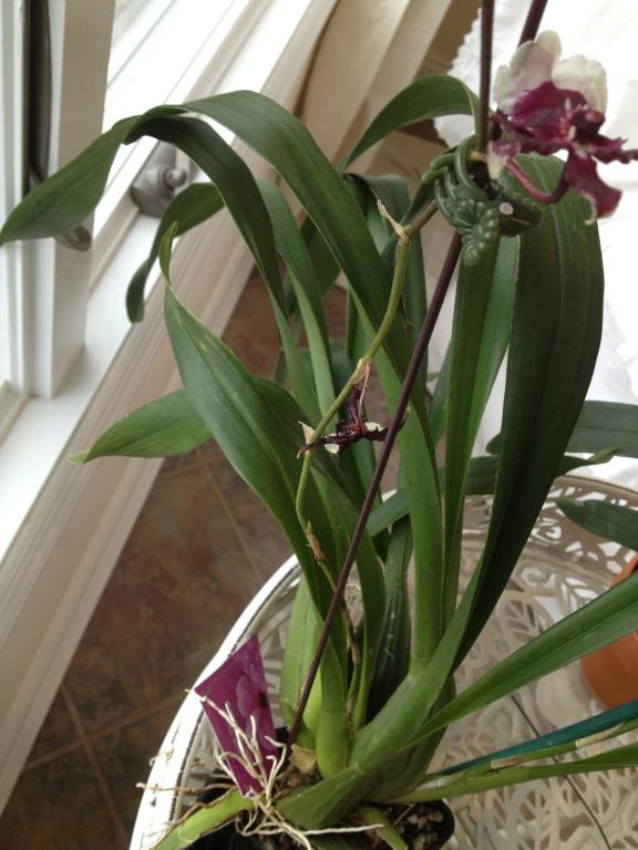 I don't understnad the name of this orchid from the label-094-jpg